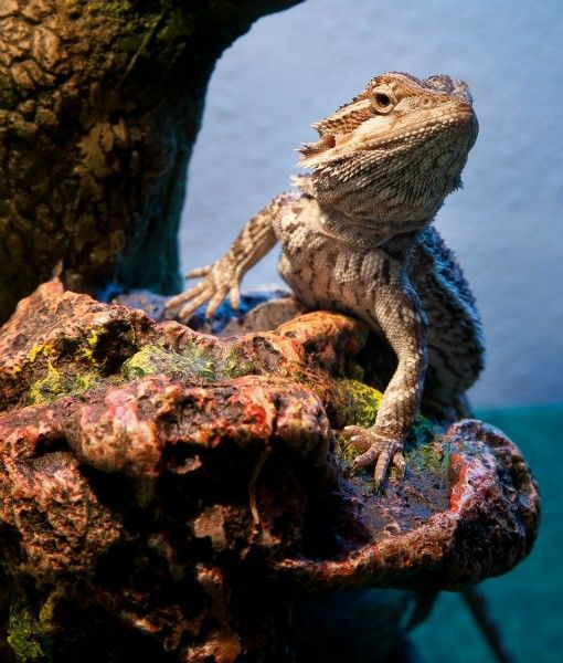 Bearded Dragons Are Very Popular Pets, Due To Their Ease