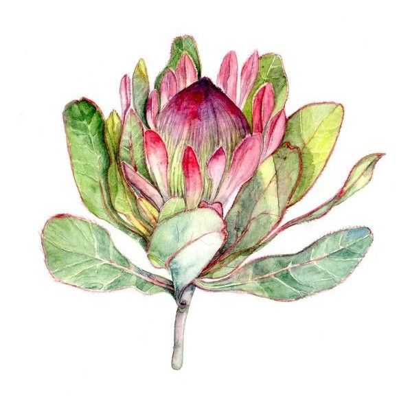 Botanical Art Print Of Watercolor Painting Liked On Polyvore