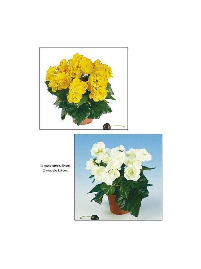 Begonia o Begoñas artificiales en blanco y amarillo, apariencia natural, por solo 15.90€ en villafiore.es