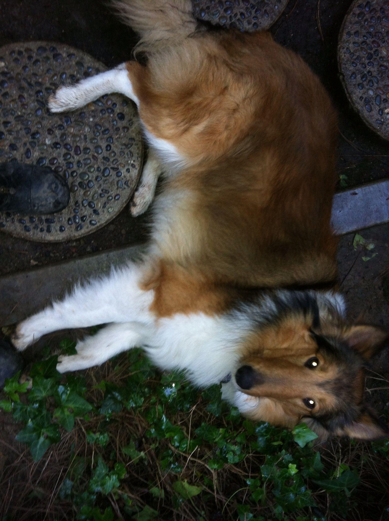 Sweet collie 10 months