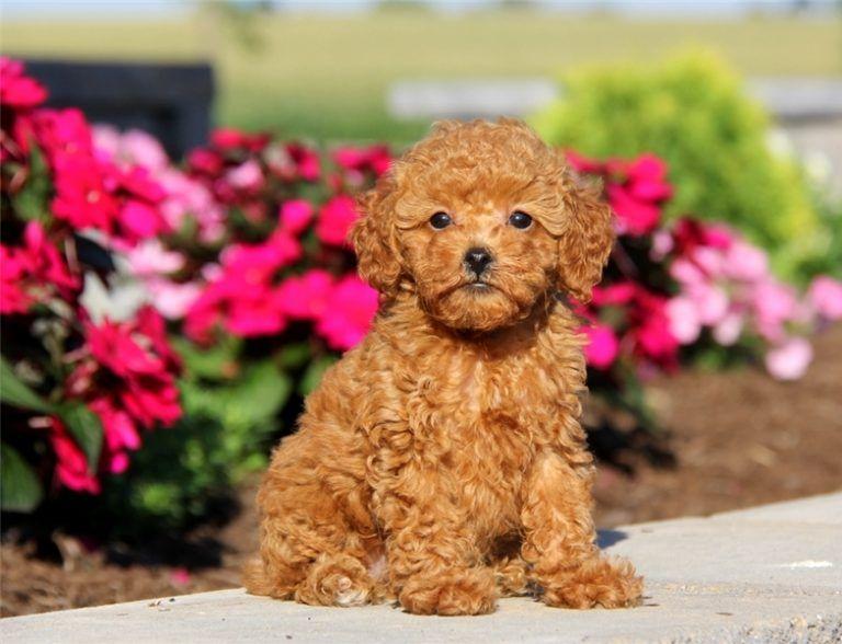 Teacup Poodles Tea Cup Poodle Mini Poodle Puppy Poodle
