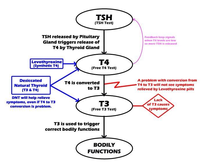 Thyroid Graph  Thyroid Awareness    Thyroid And