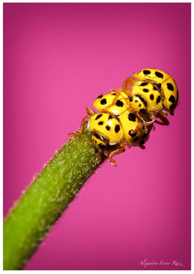 Yellow ladybugs - HOW cool are these?!?.