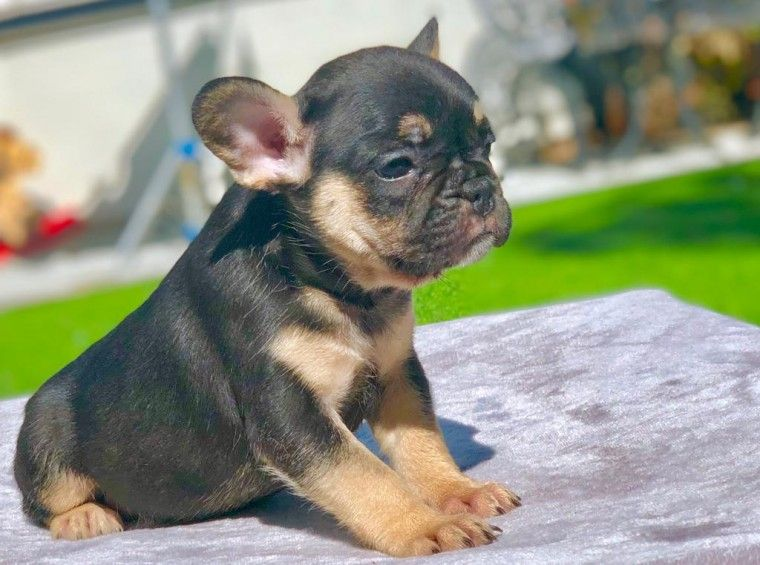 Don Frost French Bulldog Puppies Puppies French Bulldog Puppies