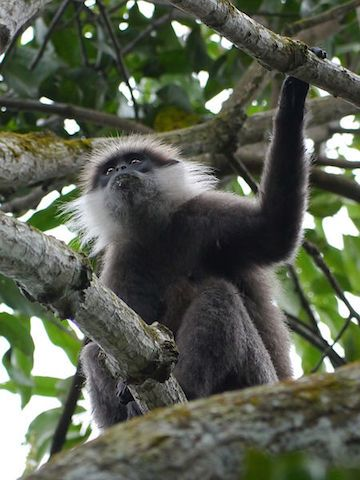 ASIA - Purple-faced langurs (Trachypithecus vetulus), also known as the purple-faced leaf monkey, are endemic to Sri Lanka. They are decreasing in number due to development of their habitat.