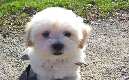 Chanel Is My Name I Was Born In Ontario Canada I M Half Bichon