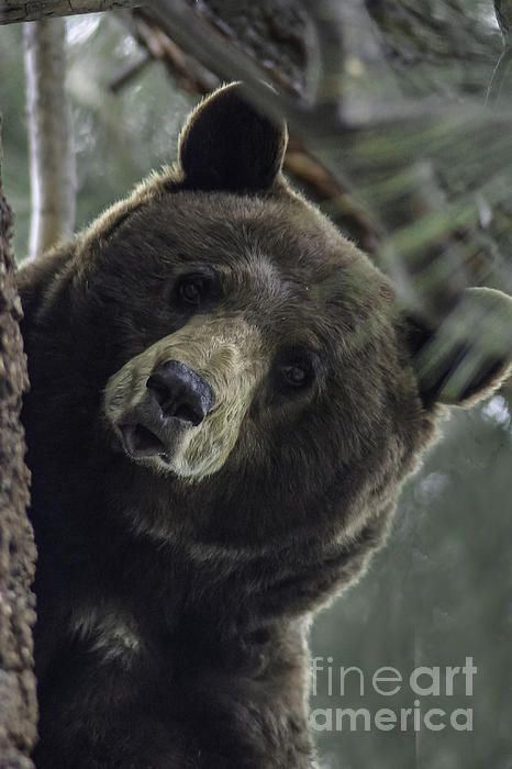 http://fineartamerica.com/featured/mama-bear-Mitch-shindelbower.html