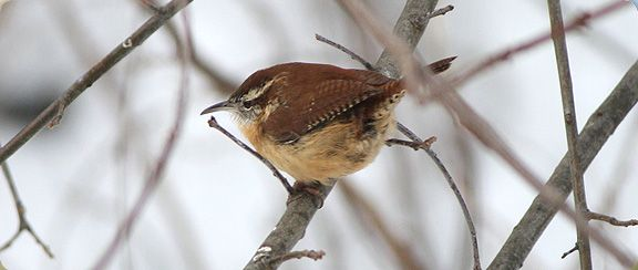 Wrens are one of my favorites for their puffy little bodies...turned up tail and amazing song!!!
