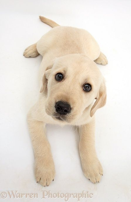 Yellow Labrador Retriever Puppy Looking Up Labrador Retriever