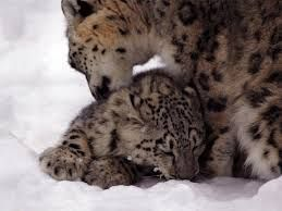 Image Result For Snow Leopard Cubs Wallpaper