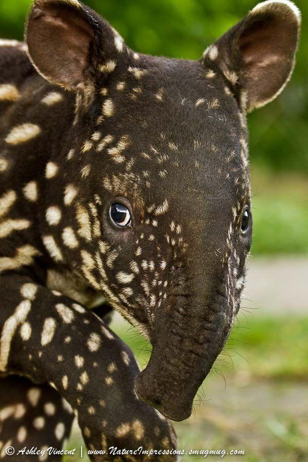 malaysian tapir by Ashley Vincent