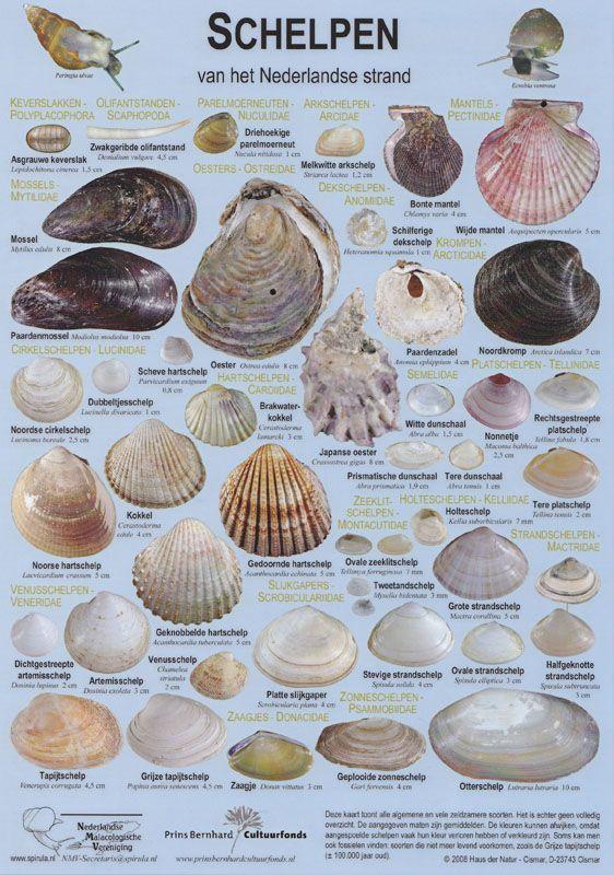 Alle nederlandse schelpen op een rij! Zoek ze allemaal met behulp van deze Schelpen Zoekkaart! #dagjestrand #schelpen #vakantie