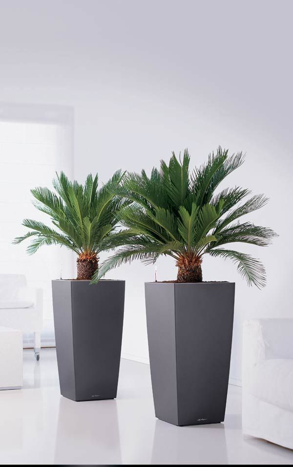 Allow To Dry Between Waterings Sago Palm Tree Interior 400 x 300