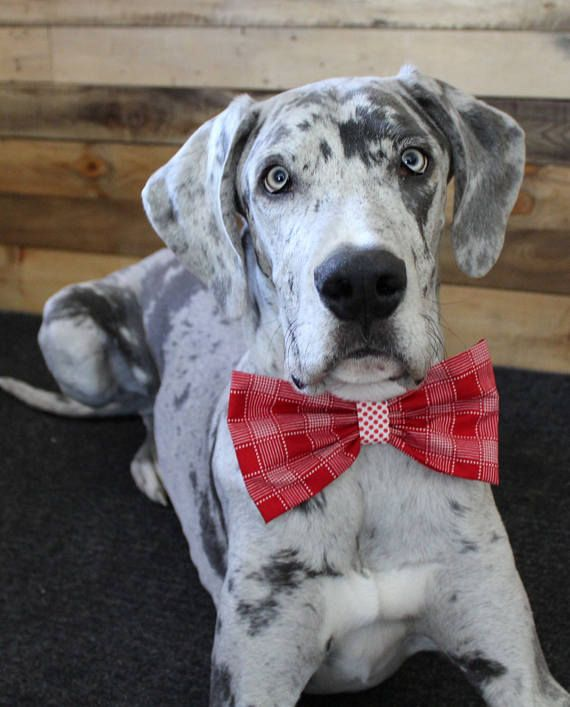 Xl Great Dane Bow Tie Xl Red Plaid Bow Tie For Dog Great Dane