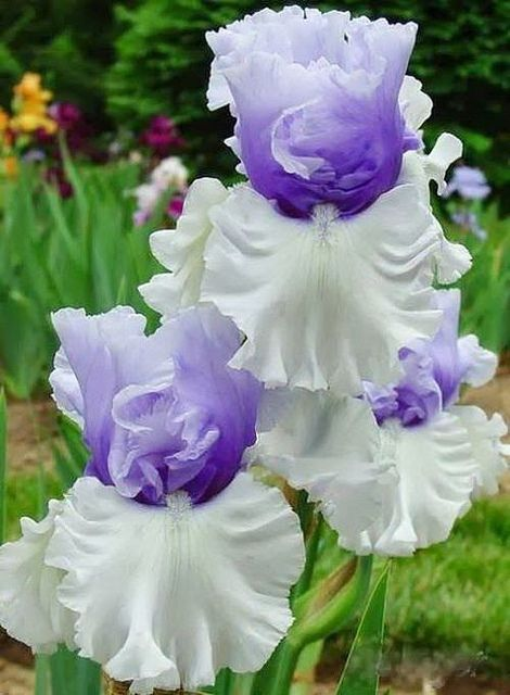 Purple White Beauties Beautiful Flowers Iris Flowers Amazing Flowers