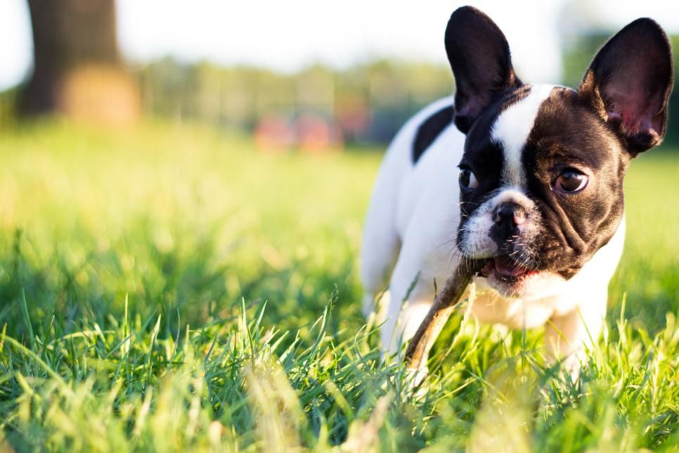 French Bulldogfrench Bulldogs Are Well Mannered And Affectionate