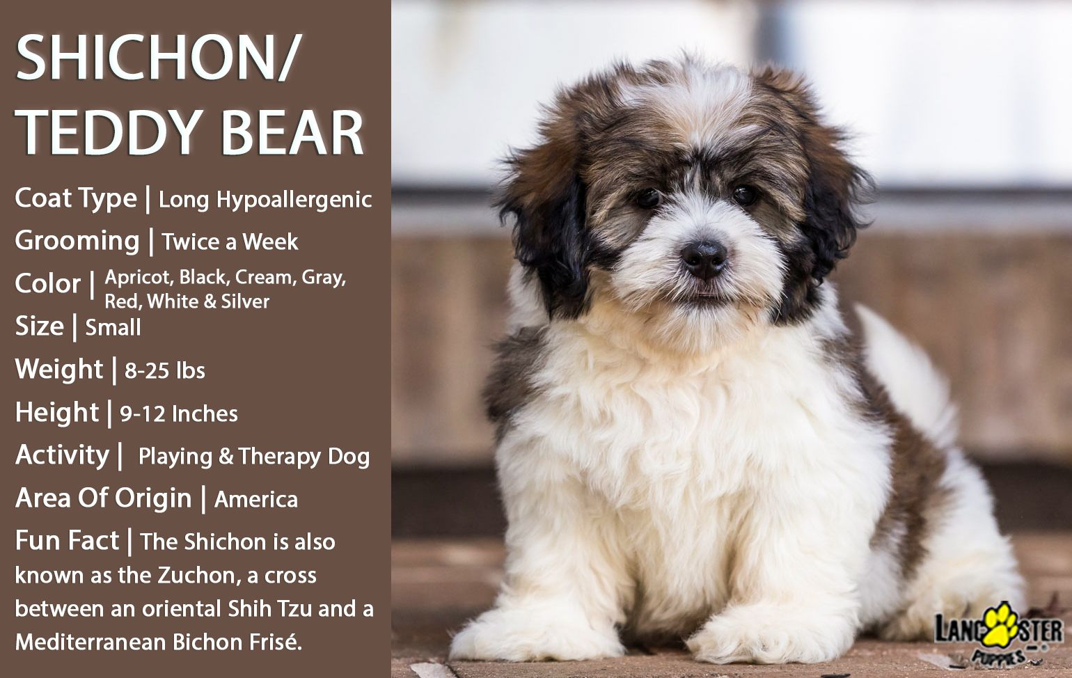 Shichonlove Friendly And Affectionate The Zuchon Is A Dog Known For Their Endearing Face Large Expr Teddy Bear Dog Teddy Bear Puppies Puppy Breeds