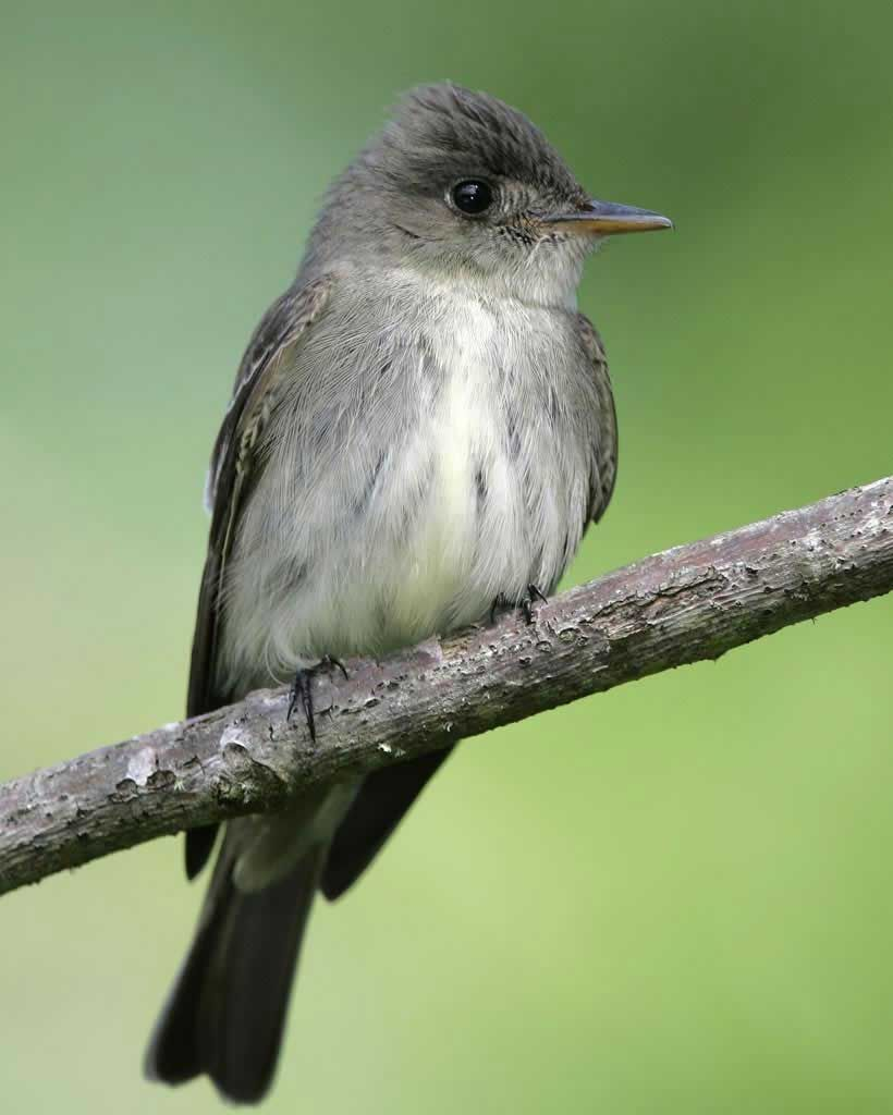 eastern wood pewee small tyrant flycatcher from north america
