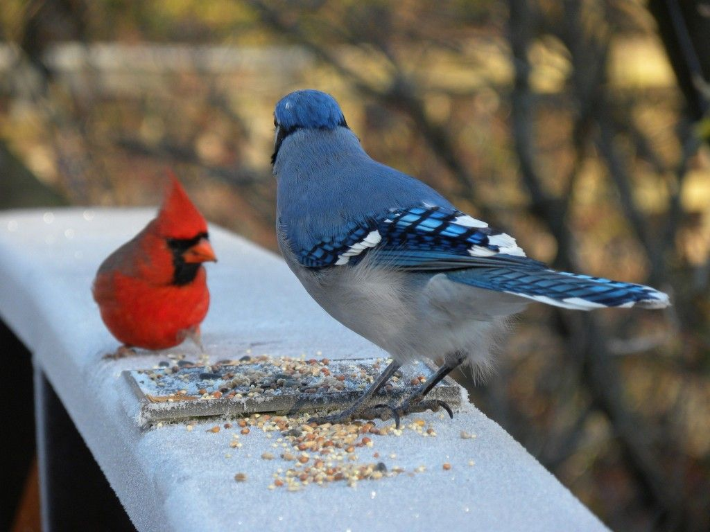 Co color cardinal red - 260 Best Images About Blue Jays And Cardinals On Pinterest Northern Cardinal Backyard Birds And Backyards