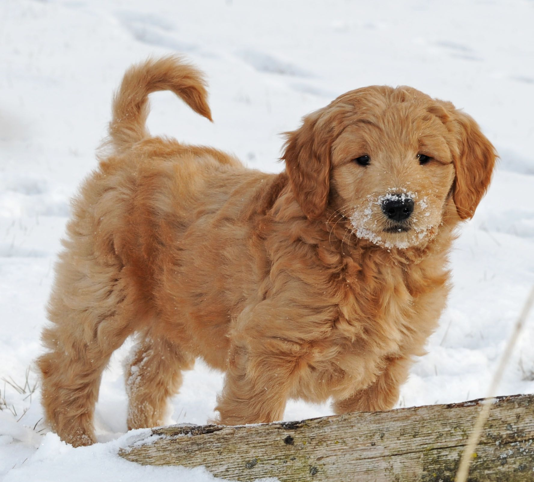 Miniature Poodle Puppies For Sale Ontario Ideas