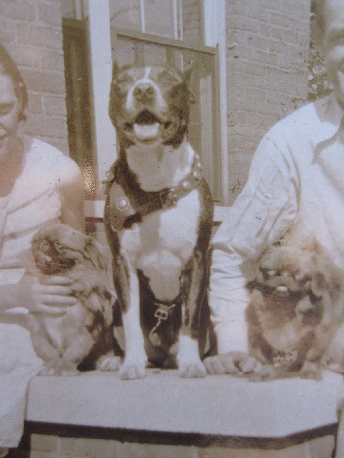 Vintage Antique American Pitbull Terrier Pekingese Paducah Ky Tampa Fl Photos Pitbull Terrier American Pitbull Terrier American Pitbull