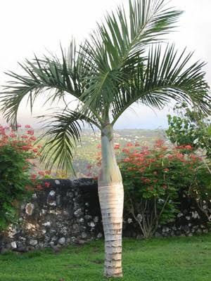 Hyphorbe Verschaffeltii Spindle Palm Plants Palm Trees Tropical Garden