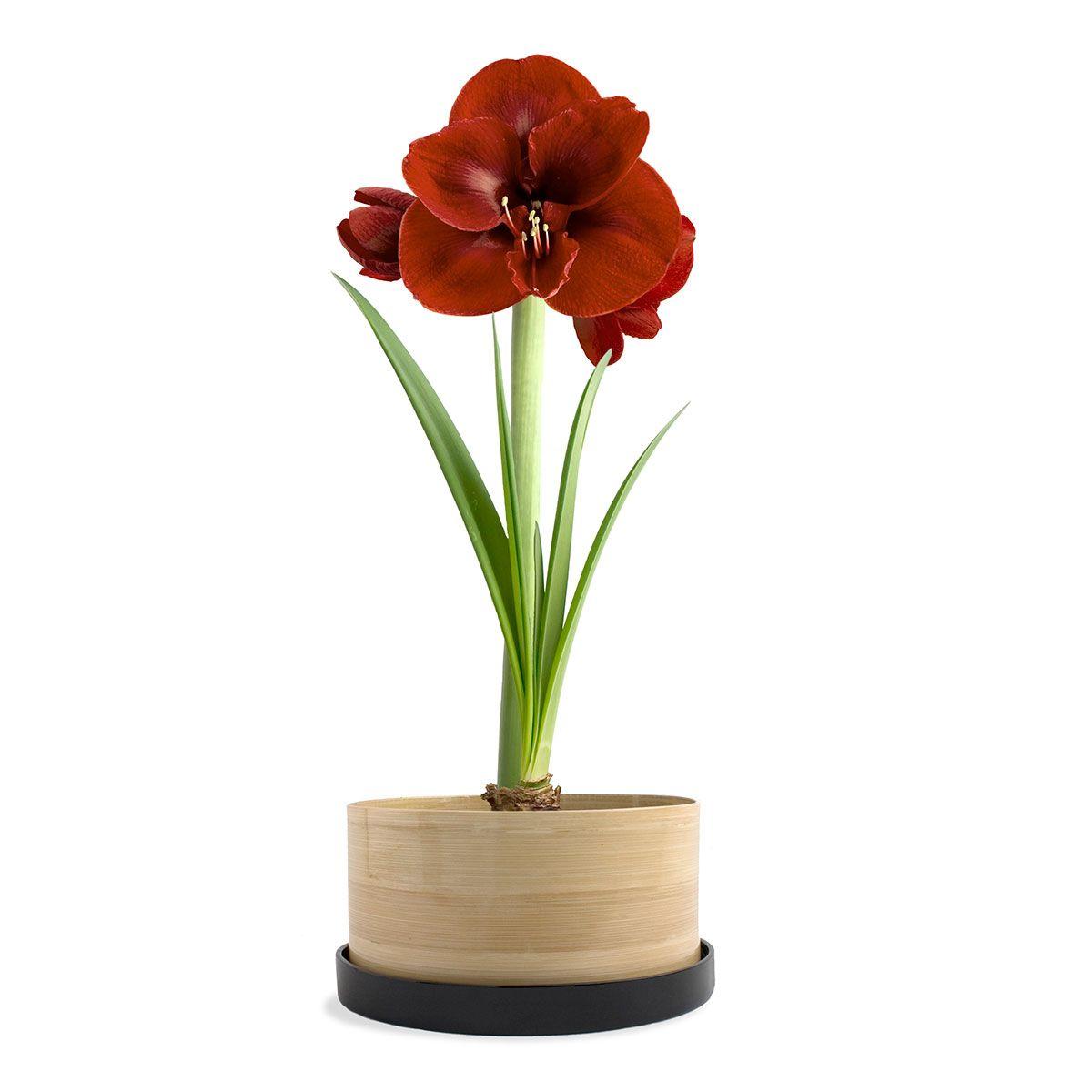 Chocolate Amaryllis Bamboo Grow Pot   Organic Home And Garden   USA Made Home  And Garden