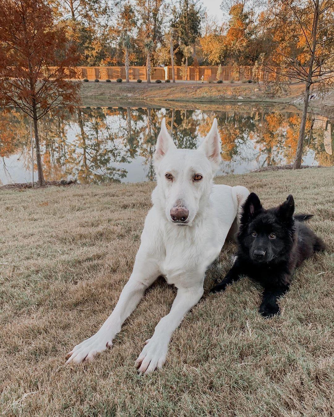 German Shepherd Puppies Wisconsin Craigslist