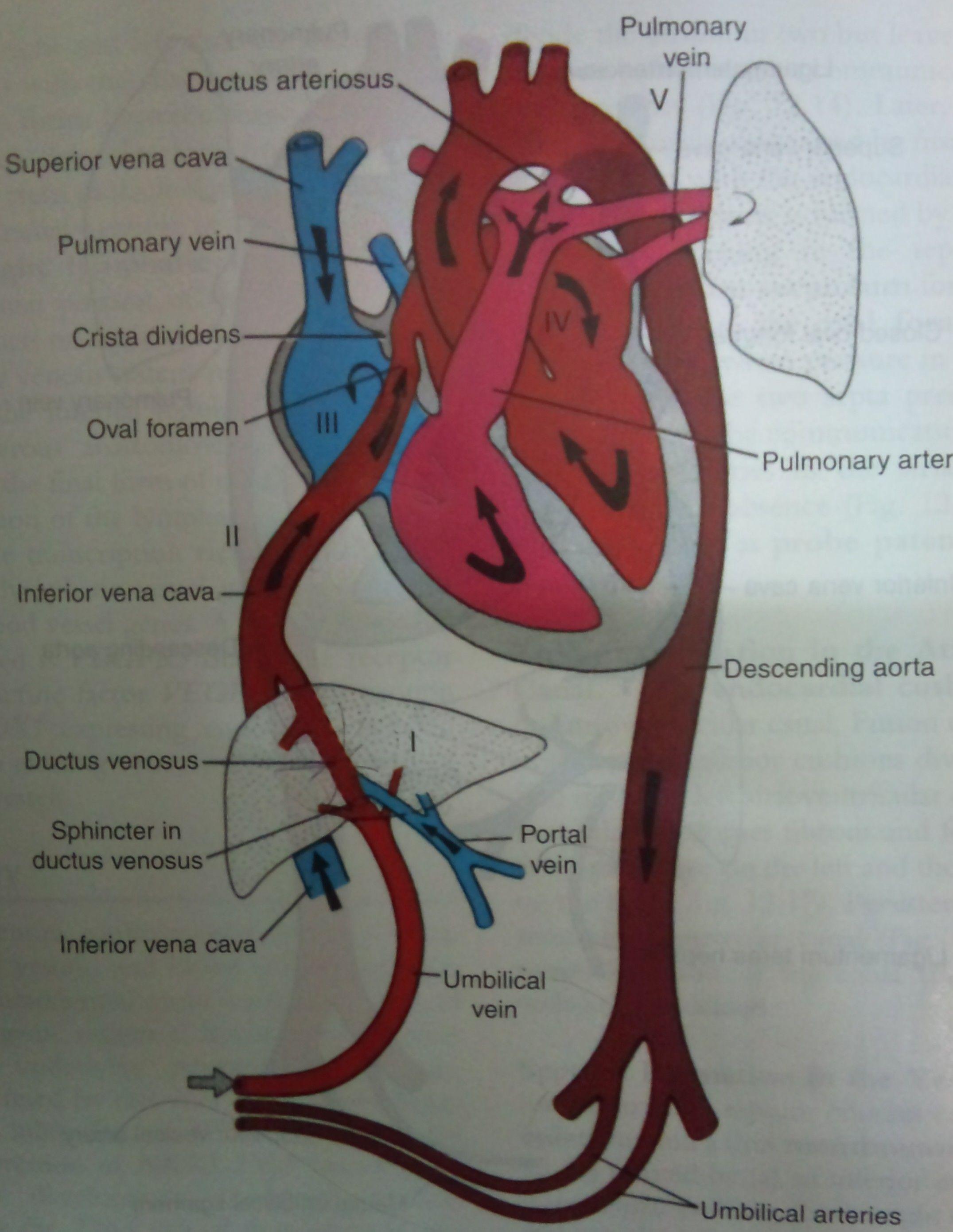 fetal circulation diagram   Sonography student, Pediatric patients ...