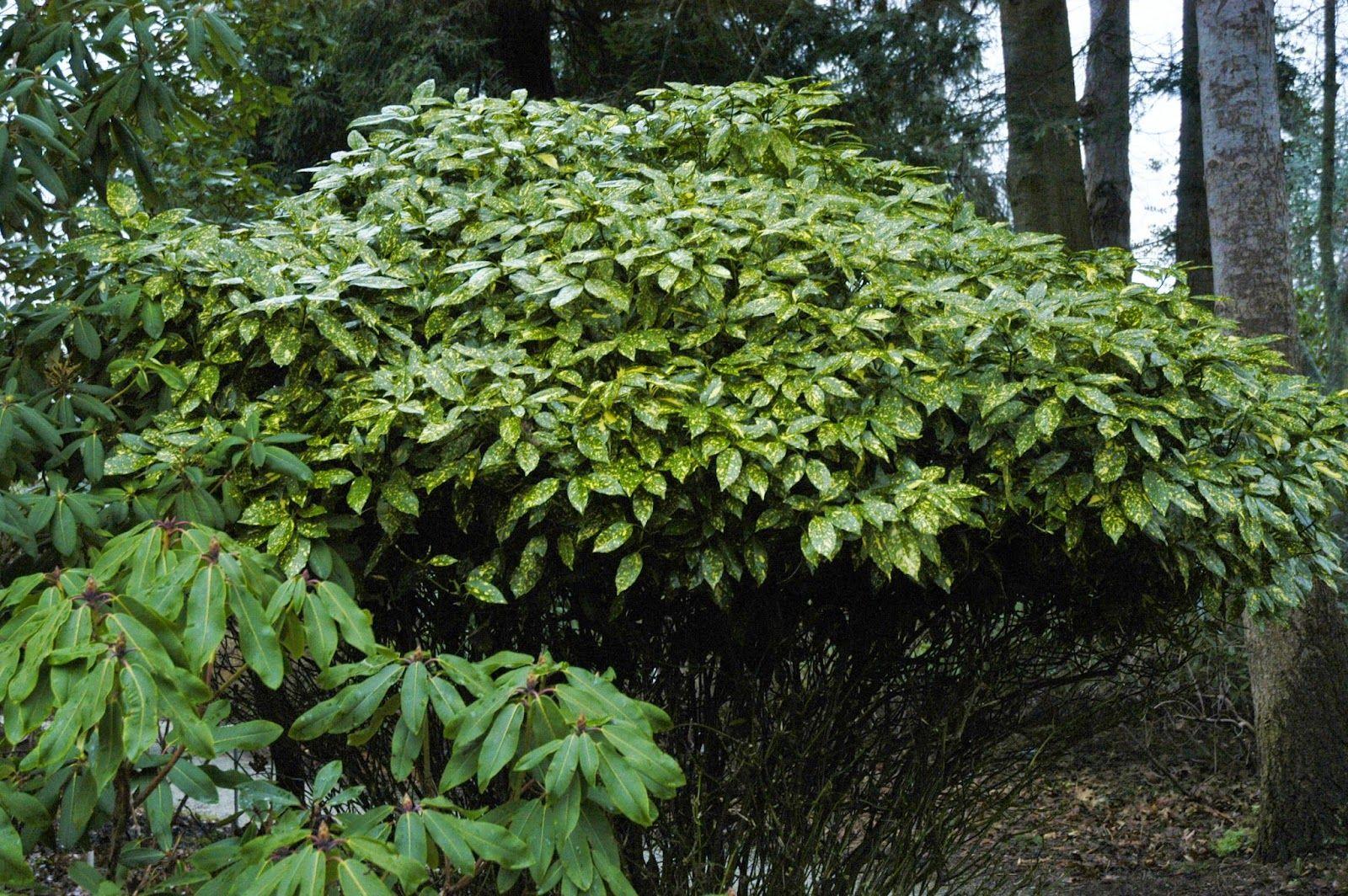 Plantaday japanese aucuba gold dust plant plants and landscapes