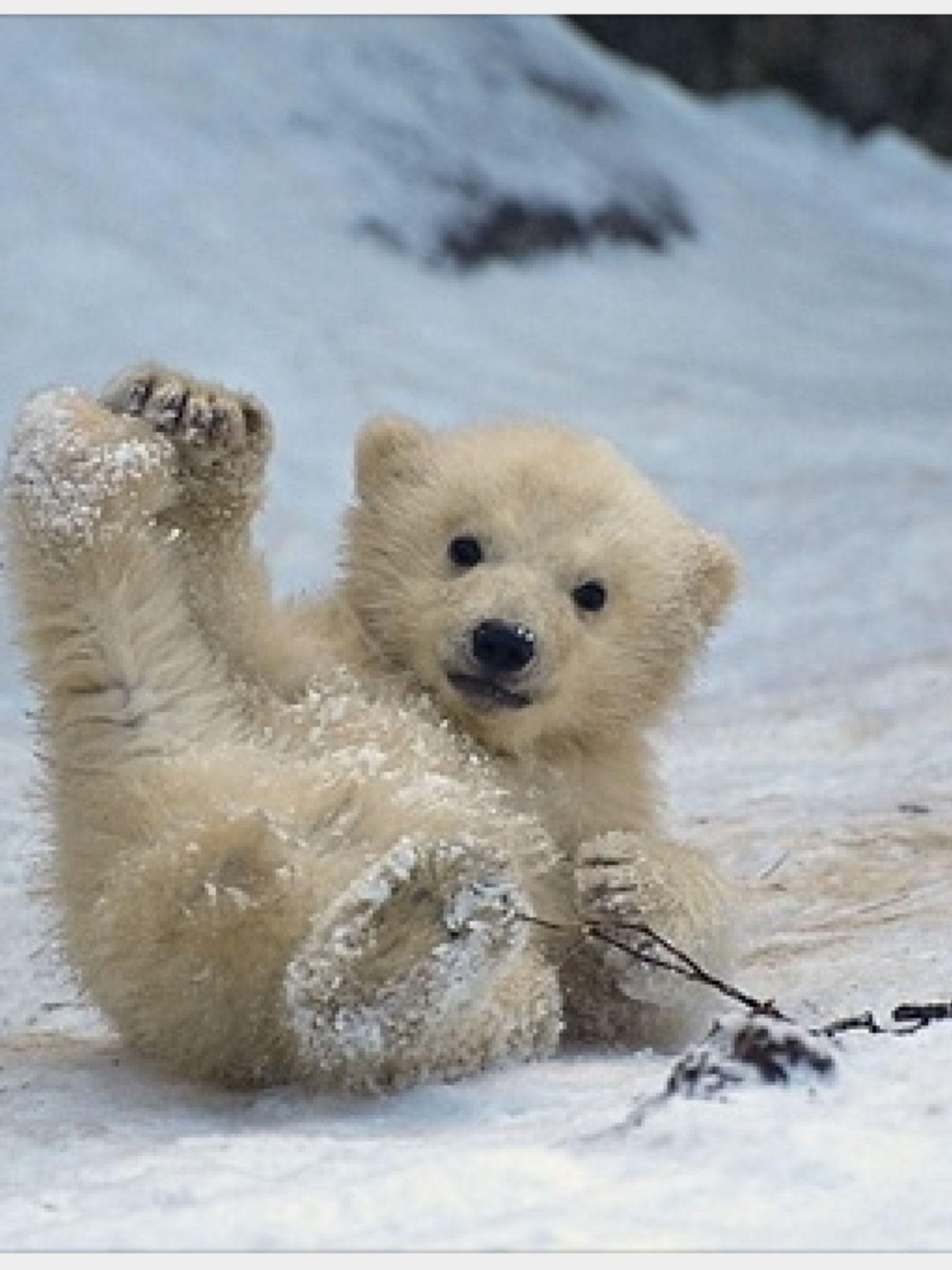 Polar Bear Cute Baby Animals Cute Animals Baby Polar Bears