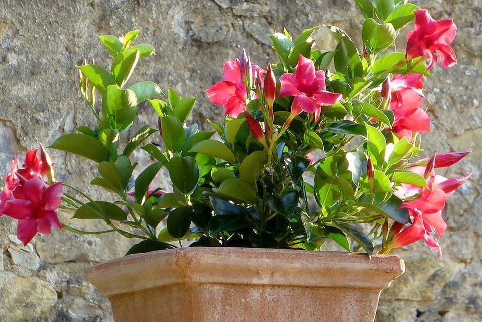 12 Dipladenia Ideas Plants Planting Flowers Container Plants