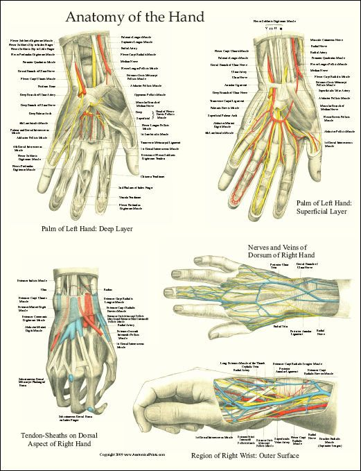Hand Anatomy Prepping For Level Iis At A Hand Clinic Occupational