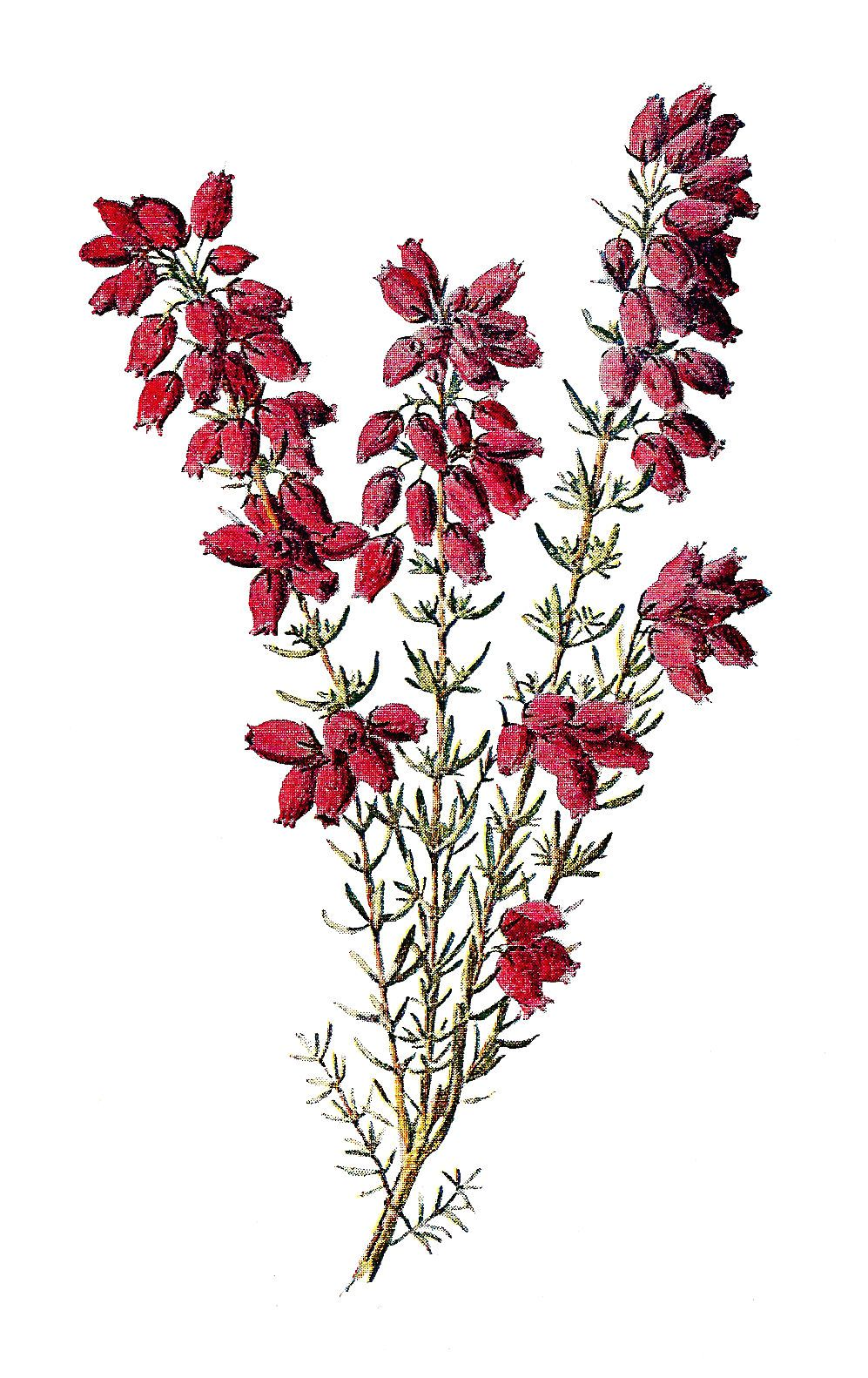 Botanical Wildflower Image Heather Flowers Clip Art Flower Drawing Antique Images Scottish Flowers