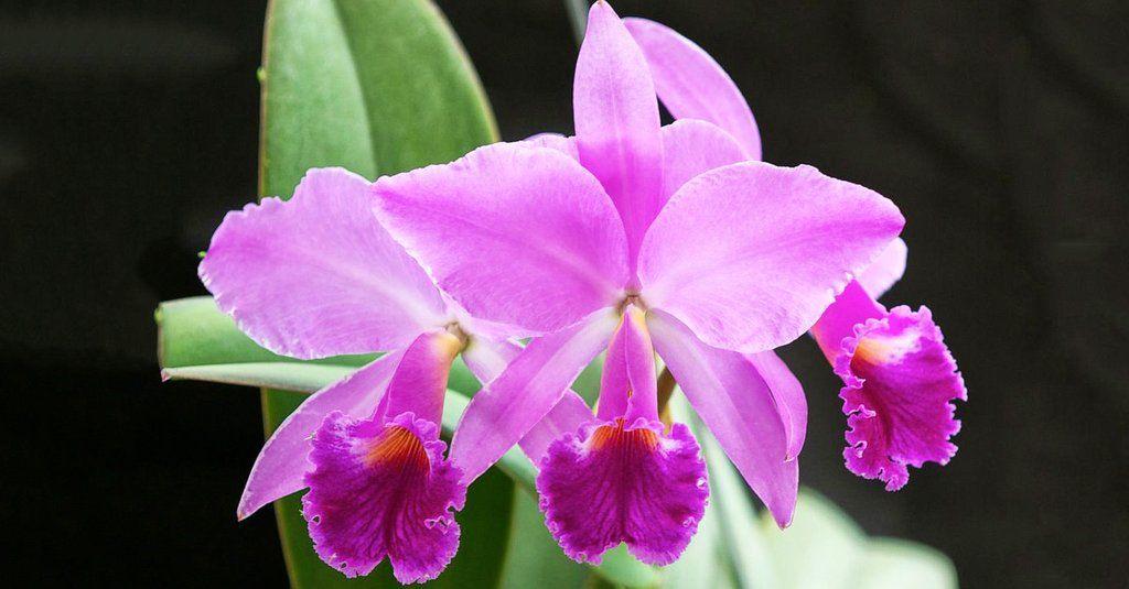 9 datos curiosos de la orquídea, flor nacional de Venezuela ...