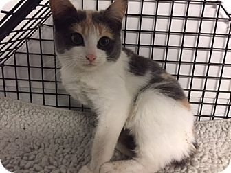 Forest Hills Ny Calico Meet Angela A Kitten For Adoption Http Www Adoptapet Com Pet 17268975 Forest Hills New Yor Kitten Adoption Cat Adoption Adoption