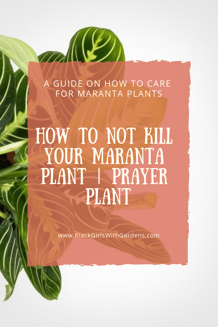 Everything You Need To Know About Maranta Plant | How To Keep A Prayer Plant Alive - Black Girls With Gardens