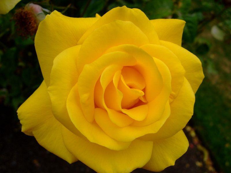 Rose Rose Yellow Roses Beautiful Roses