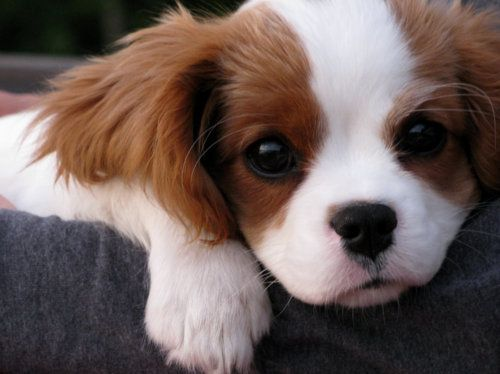 Cavalier King Charles- I've got two and they're the sweetest puppies ever!