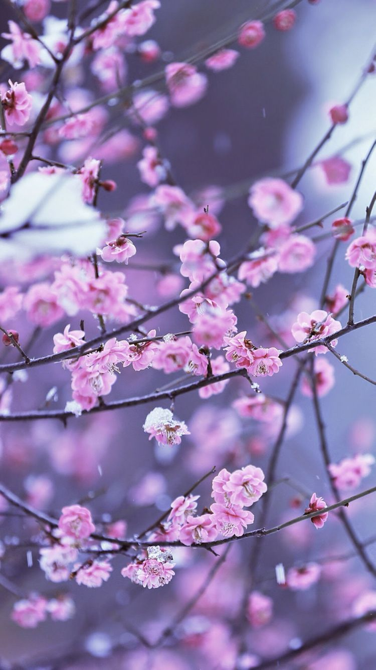 5461c7ee0 Flowers, Wallpapers, fondos de pantalla, backgrounds cherry blossom winter
