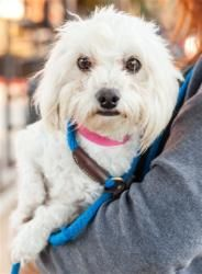 Adopt Didi On Poodle Mix Dogs Maltese Poodle Mix Maltese Dogs