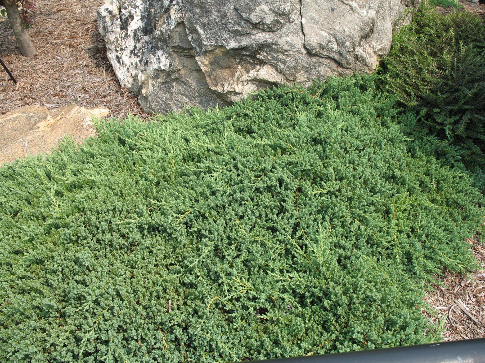 Low Ground Cover Plants Online Plant Guide Juniperus Procumbens Nana Dwarf Japanese Conifer Plants Ground Cover Plants Plants