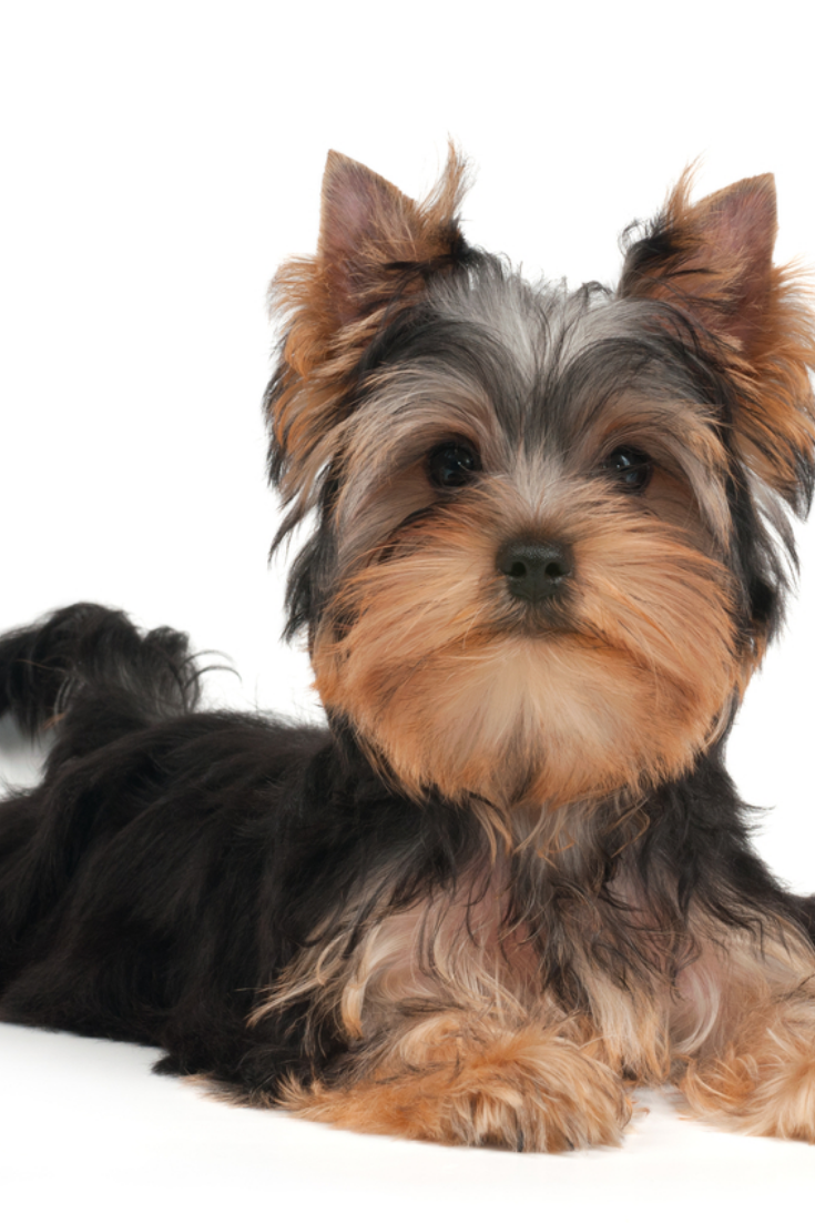 Cute Yorkshire Terrier Puppy On The White Background Yorkshireterrier Yorkshire Terrier Puppies Yorkshire Terrier Terrier