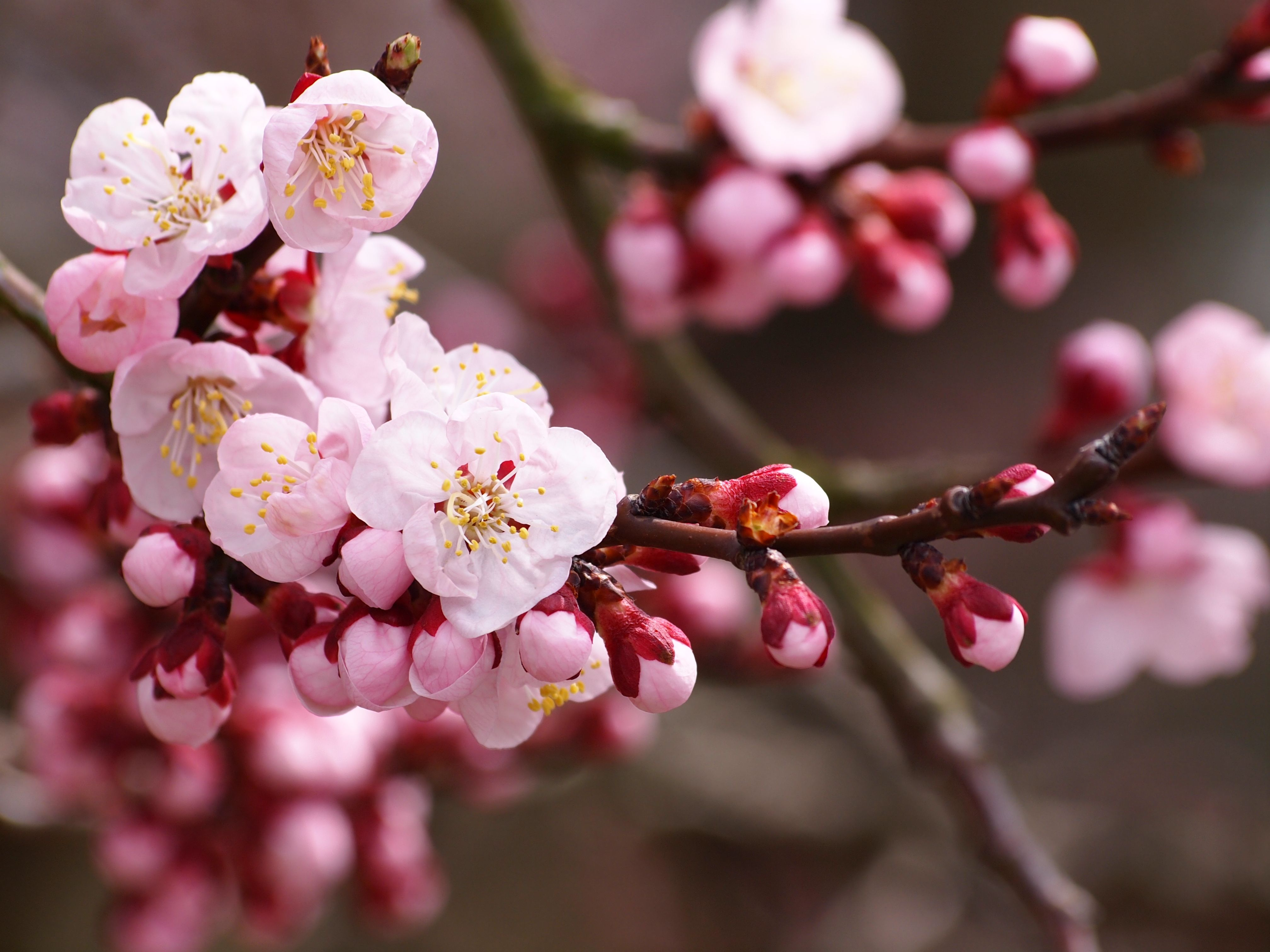 Apricot Blossoms Jpg 4032 3024 Cherry Blossom Wallpaper Apricot Blossom Cherry Blossom Flowers