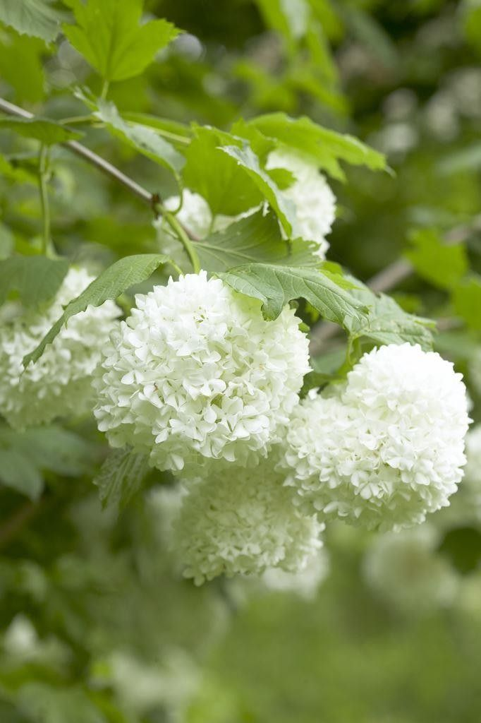 In May and June the branches of this vigorous deciduous shrub are ...
