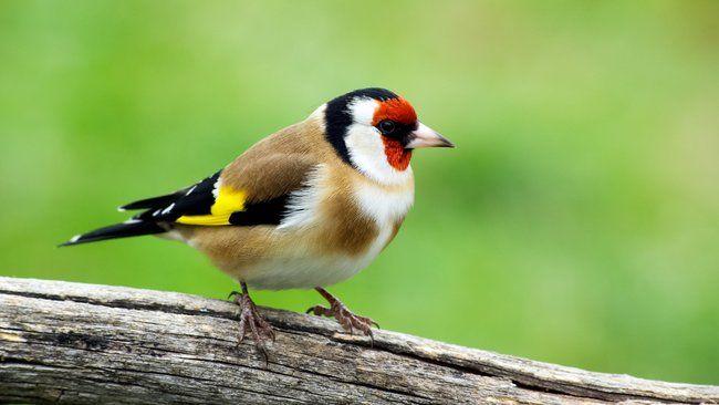 tier-quiz: was ist das für ein vogel? | stieglitz vogel