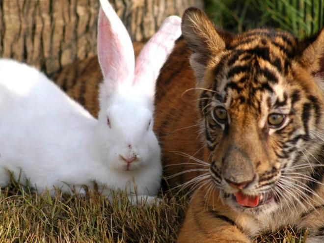 coelho e tigre