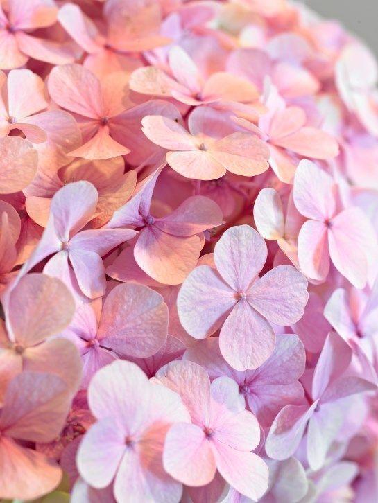 Hydrangea Beautiful Flowers Flower Backgrounds Pretty Flowers