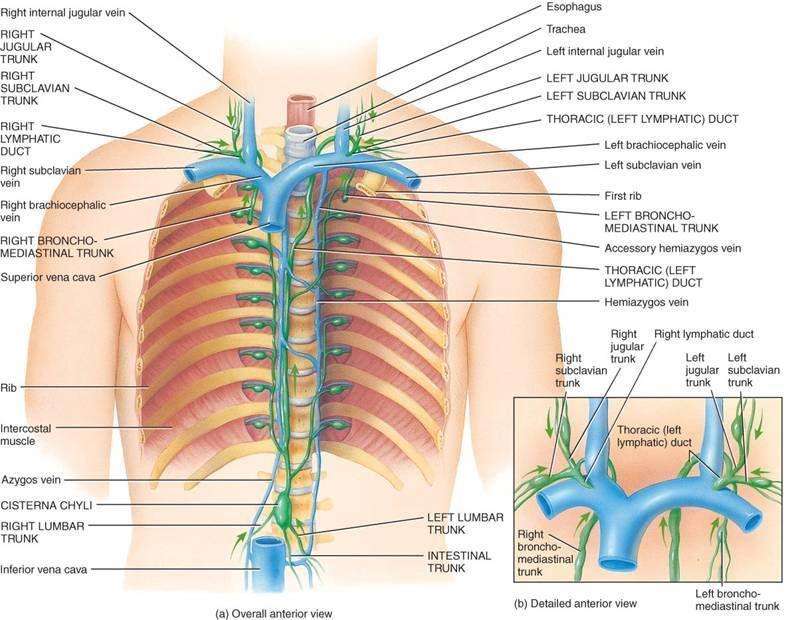 flujos linfáticos en órganos torácicos | Pinterest | Terapia ...