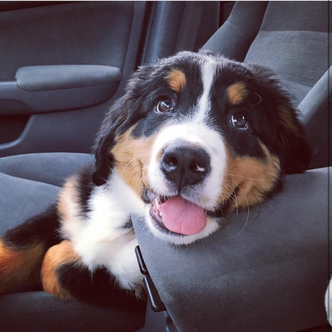 Bernese Mountain Dogs On Instagram Eyes Of Love At Bernese